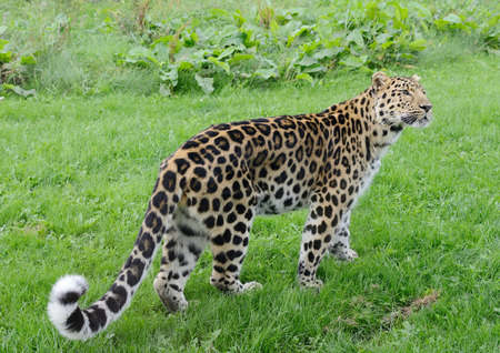prowler: Leopard full length looking alert and powerful Stock Photo