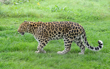 prowler: Big cat walking with spots showing full length