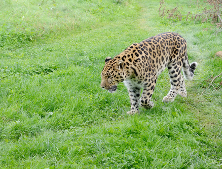 prowler: Big cat is leopard walking and looking powerful