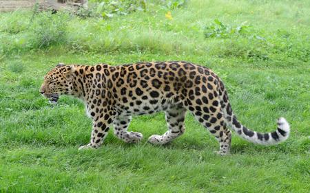 Leopard vue complète du profil de la longueur dans l'herbe Banque d'images - 33897099