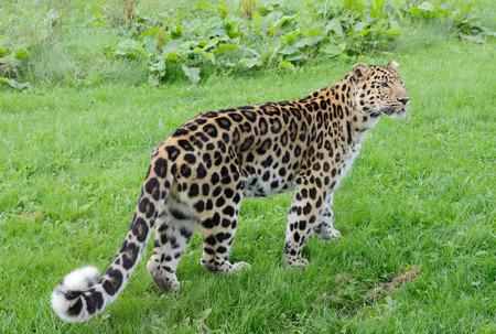 prowler: Full legth leopard looking alert with spots on fur