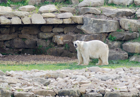 thawed: Polar bear in landscape after snow thawed due to climate change