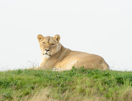 prowess: Lioness having a rest lays on grass looing alert Stock Photo