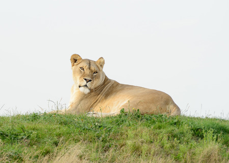 prowess: Lioness laying on grass looks alert