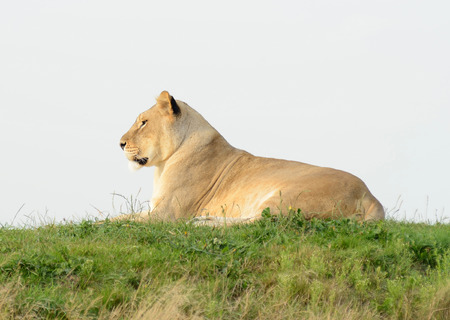 prowess: Lioness in profile in evening sun looks alert Stock Photo
