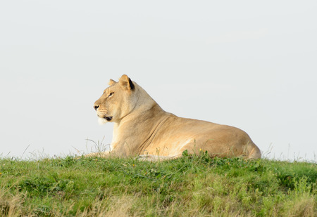 prowess: Lioness is reting on grass in profile looking alert Stock Photo