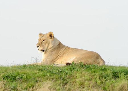 prowess: Lioness laying on grass looking alert and staring Stock Photo