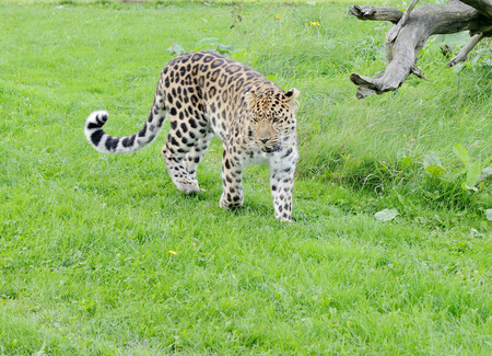 restless: Leopard is restless walking in the grass Stock Photo