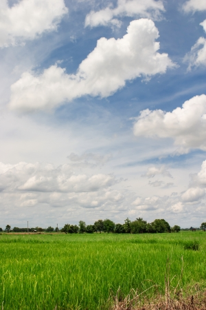 Rice in paddy field and White Cloudy on blue sky in Thailand  photo