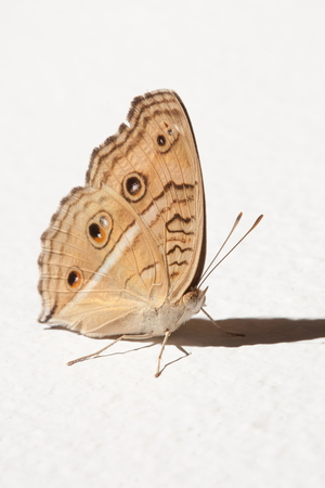 butterfly grasp on the white wall. Stock Photo