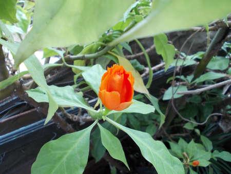 BABY Rose cactus