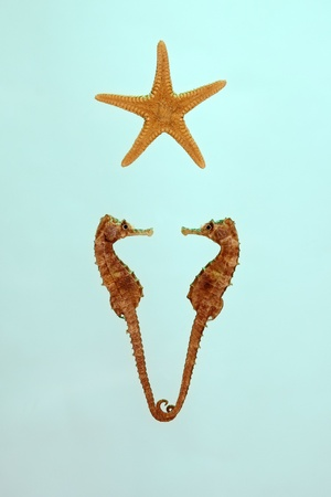 Love (Hippocampus and starfish on the green background) photo