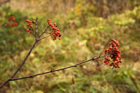 ashberry: Ashberry Stock Photo