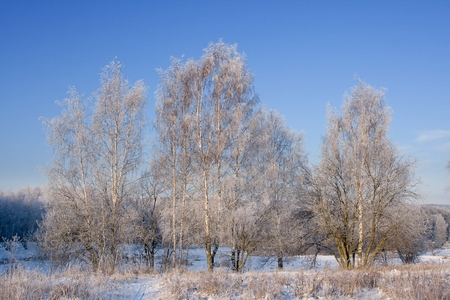 birches: Frosted birches