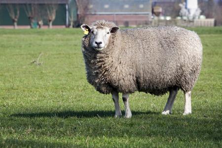 pecora: Pecora guardando la fotocamera e una fattoria in background
