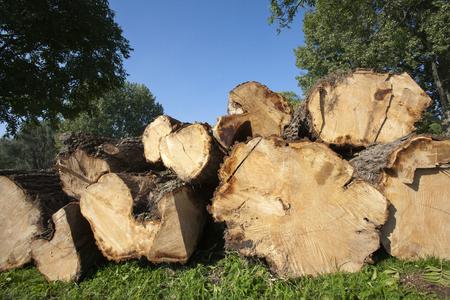 sawed: Logs of a fresh sawed tree