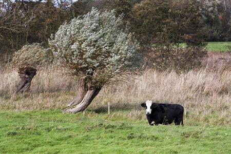 dutch: Cow in rough Dutch landscape