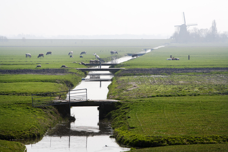 dutch culture: Typical Dutch polder landscape with a windmill in the background. Cows and sheep are grazing on the green fields. Its a bit foggy on this April afternoon near Amsterdam Schiphol.