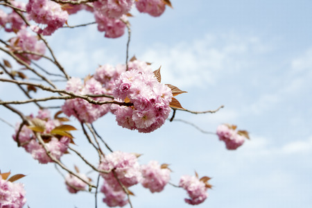 springtime: Pink blossom in springtime