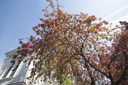 residential district: Blossom tree in the front garden in a residential district. Stock Photo