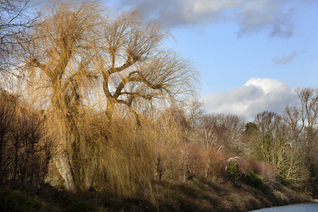 weeping willow: Beautiful sunlight on a weeping willow and some other trees at the end of the day in winter Stock Photo