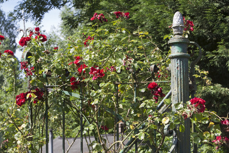 the  fertility: Red roses on a beautiful antique green fench with an acom as fertility symbol