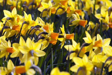 narcissist: Flower bed of beautiful yellow daffodils in the spring time