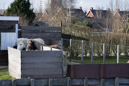 ijssel: Brown and a white pony living together in a residential district