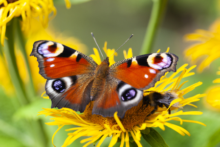 Inachis io or peacock butterfly with a bee under the wings