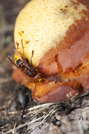 Hornet eating a rotting pear in an orchard In the Netherlands Stockfoto