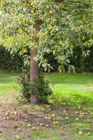 Also pears does not fall far from the tree in Voorst in the Netherlands Stockfoto