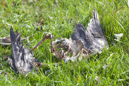 Heron  caught and eaten by a bird of prey in the Netherlands