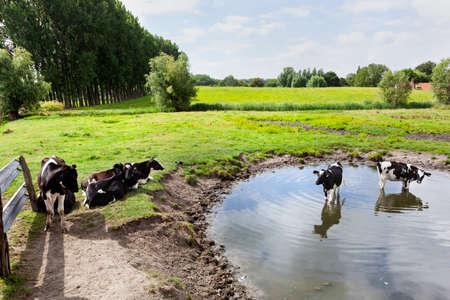 Cows cooling during heatwave in a pond in Zeeuws Vlaanderen in the Netherlands
