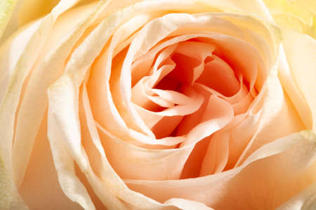 Abstract closeup of the petals of an apricot color rose Stockfoto