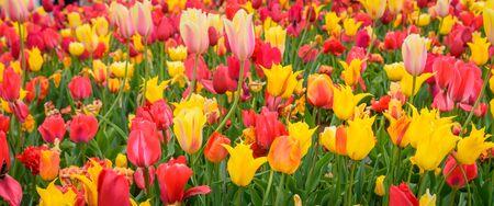 The Blooming tulips in Keukenhof garden.