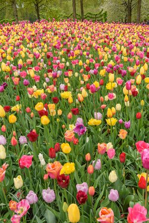 Multicolored tulips in Keukenhof garden, Netherlands