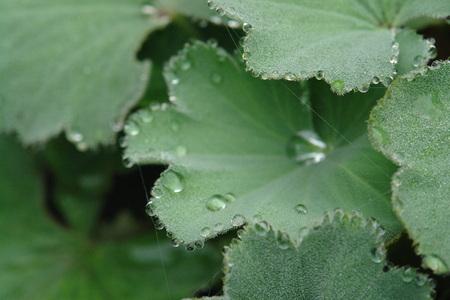 알케 밀라 빗방울