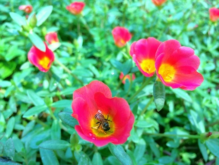bee on flower: The bee on a pink flower. Stock Photo