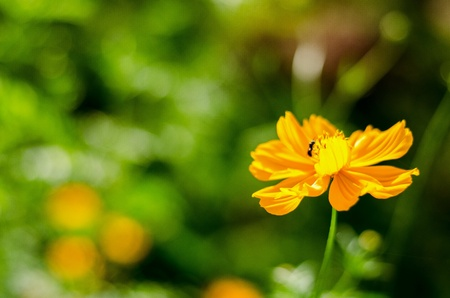 bright: Cosmos flower and bee Stock Photo