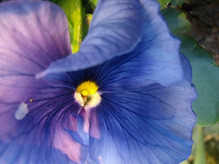 closely: beauty violet pansy