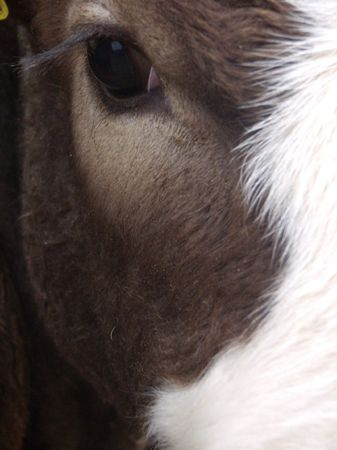 glance: glance at to a wonderful cow Stock Photo