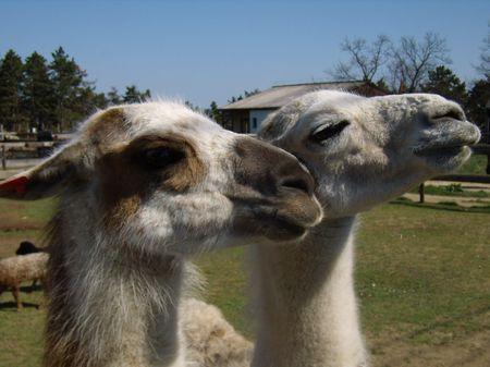 portair of lamas, Veszprem Zoo, Hungary photo