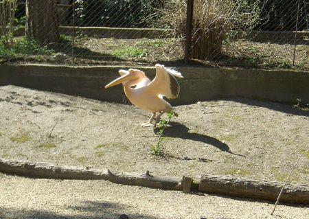 pelikan: pink pelikan, Veszprem Zoo