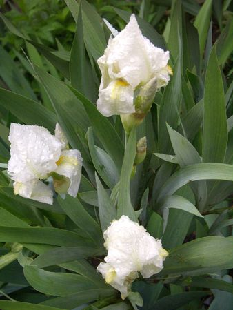 wet irises photo