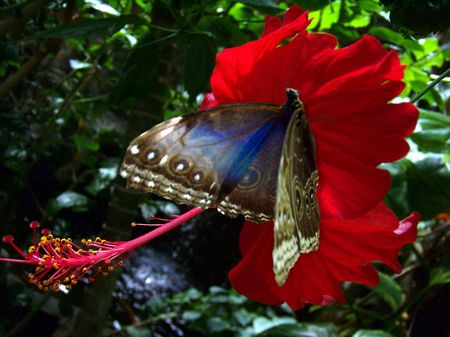 tropical butterfly on a hibiscus flower Stock Photo - 3610305