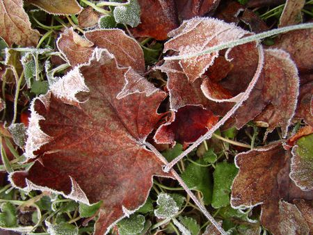 hoary: hoary leaves Stock Photo