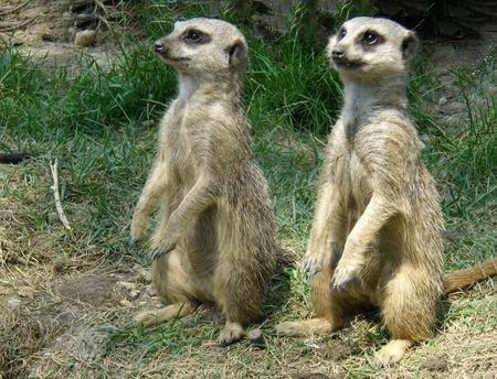 vigilant: suricates in vigilant, Budapest Zoo, Hungary