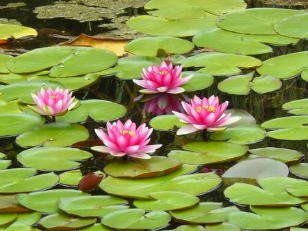 pink waterlilies photo