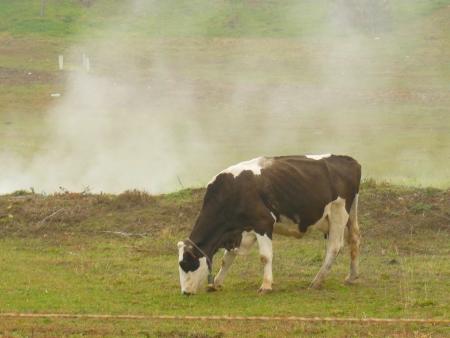 Cow in autumn steam photo
