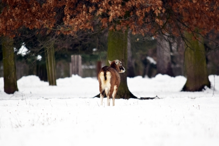 Mouflon Female in Winter Looking at on Snow